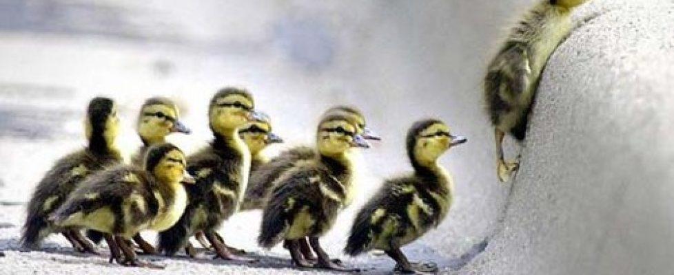 animal,cute,ducks,d_b,cuteness,animals-b832101ed6b4383c27bd1f7d64f115bd_h